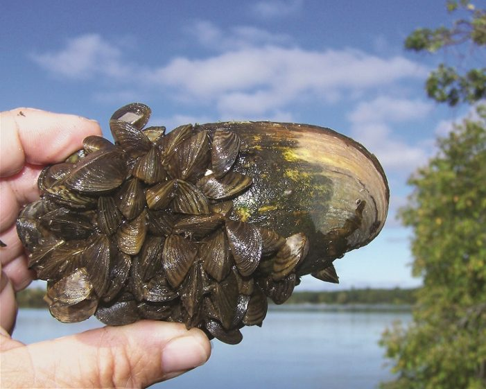 Zebra mussels on a native mussel - photo courtesy of MN DNR