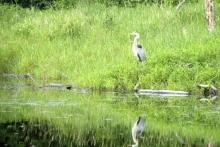 Heron in weeds Shover