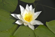 Waterlily Shover